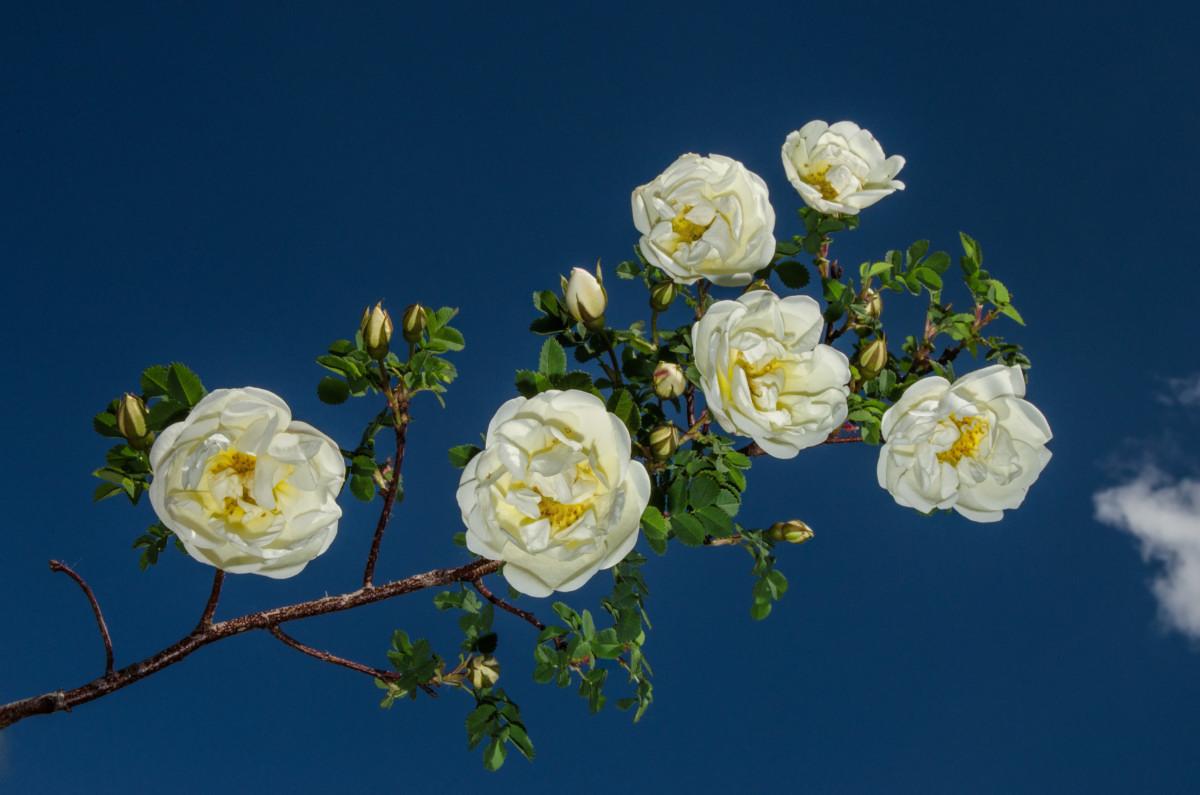 Белая дикая роза в небе с облаками фотограф Челябинск
