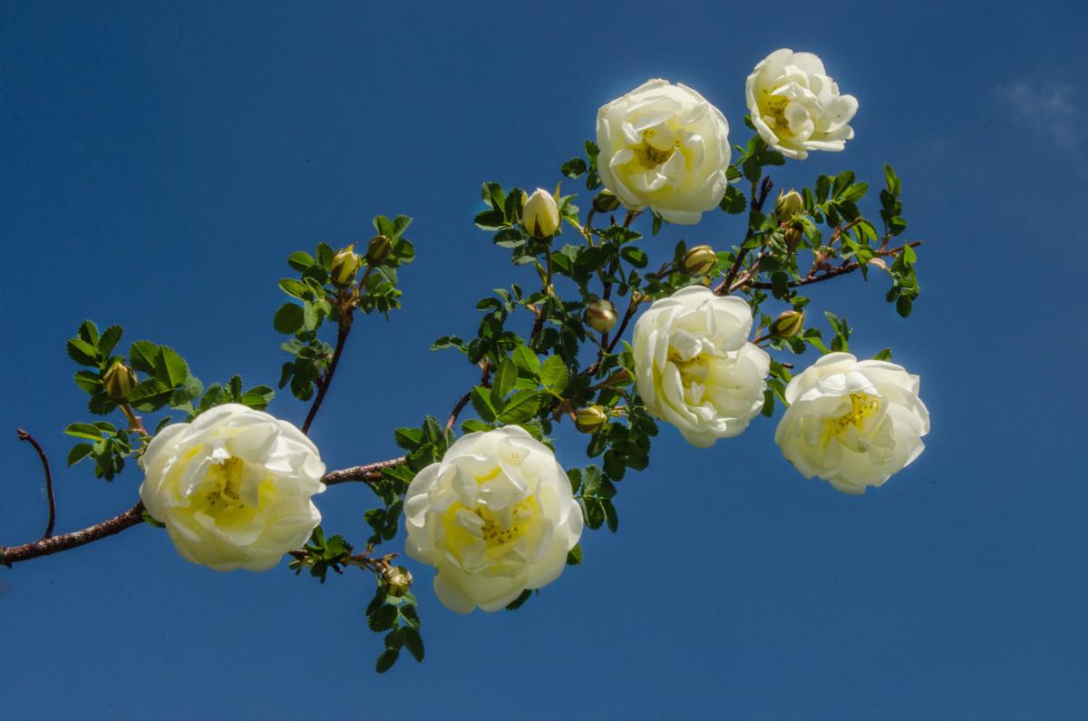 Белая дикая роза в небе с облаками фотограф Челябинск_5304
