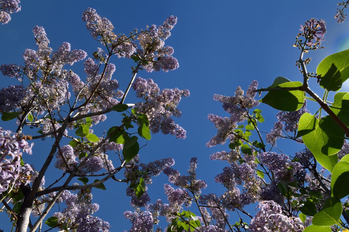 фотограф Челябинск  сирень цветёт! 6008