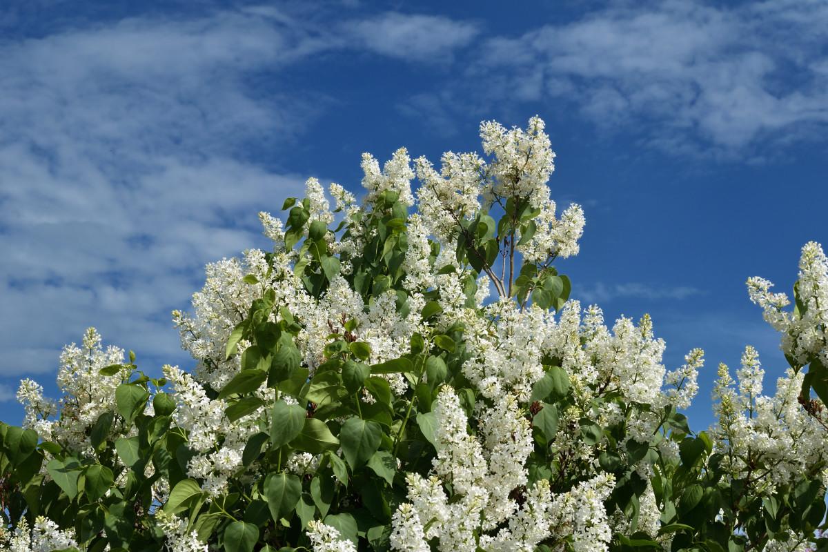 фотограф Челябинск  сирень цветёт! 5930_01