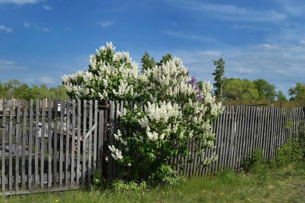 фотограф Челябинск  сирень цветёт! 5932_01