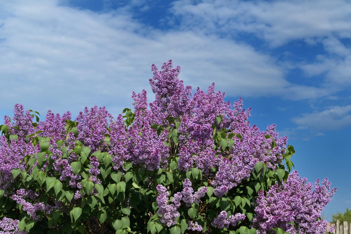 фотограф Челябинск  сирень цветёт! 5929_01