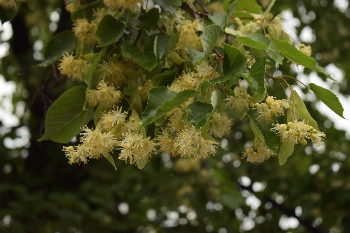 фотограф Челябинск - липа цветёт!  8740
