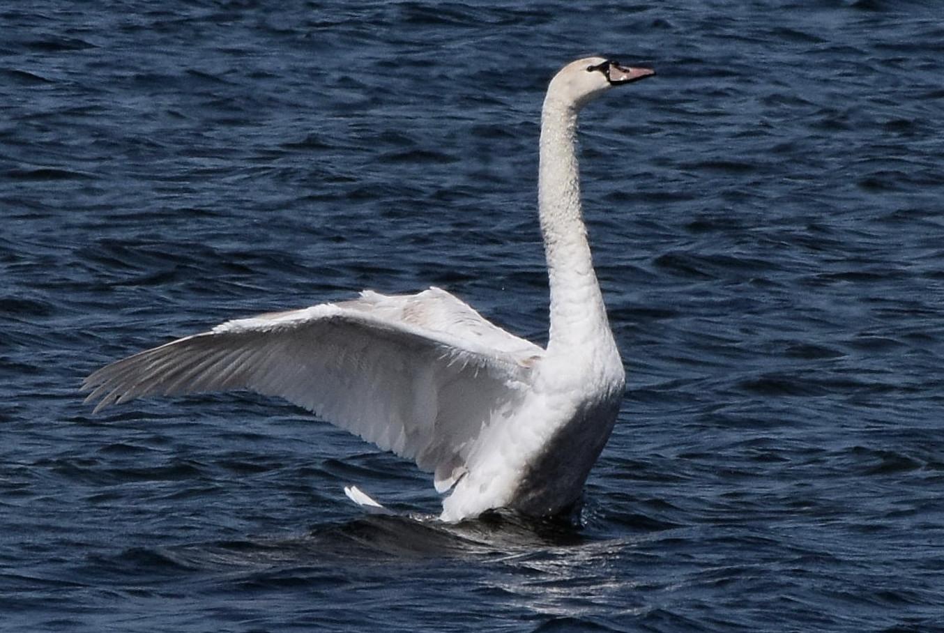 Лебедь крикун