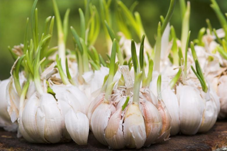 1343884673_garlic_shooting