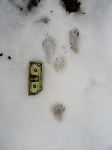 Fisher Cat Tracks | www.pixshark.com - Images Galleries With A Bite!