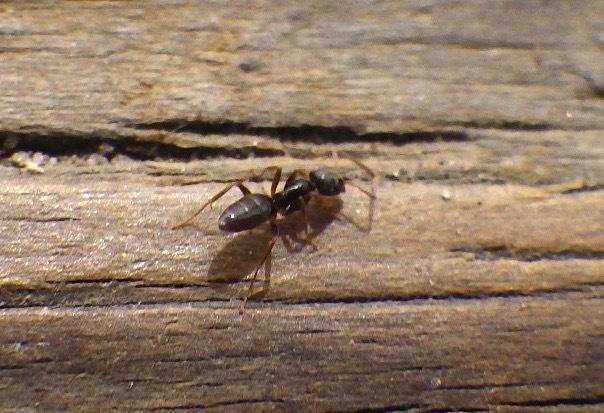 Odorous house ant <i>Tapinoma sessile</i>