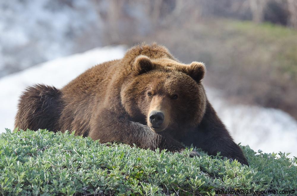Фотографии камчатского бурого медведя