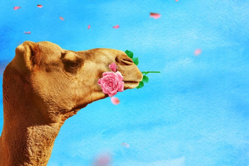 camel-3682075_960_720
