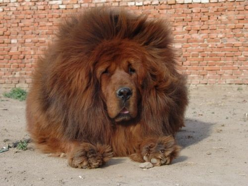 Купить собаку тибетский мастиф цена