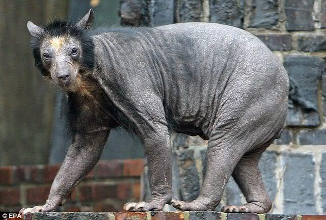 Hairless Polar Bear A hairless russian black
