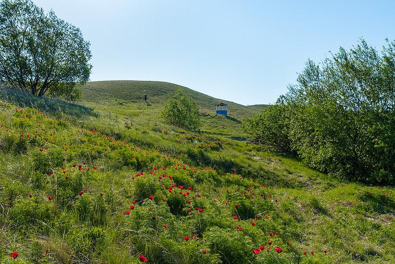Пионы на склоне холма