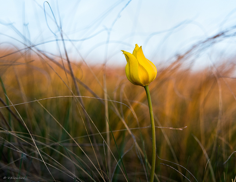 Тюльпан в степи