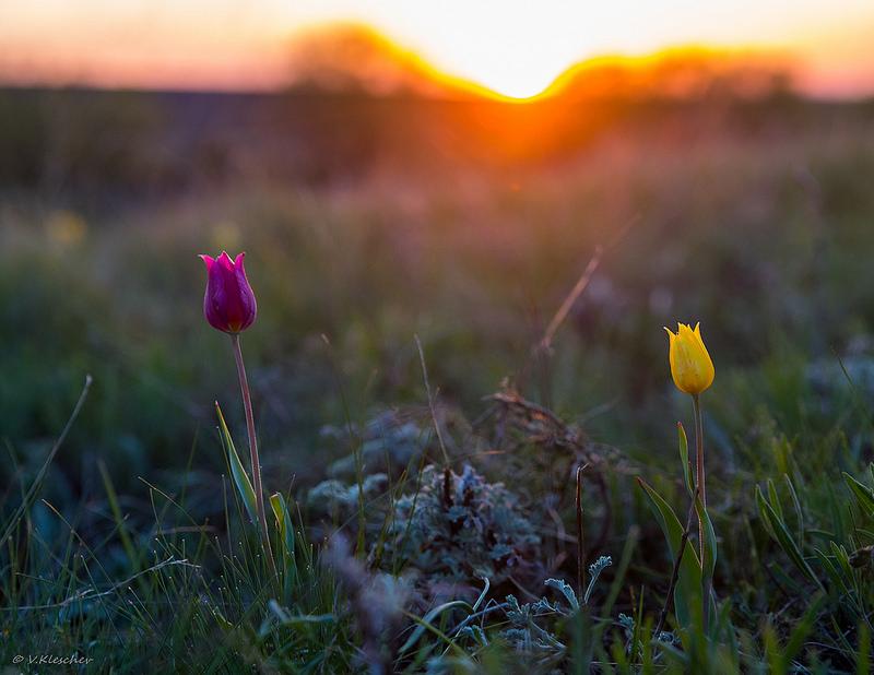 Степные тюльпаны в контровом свете