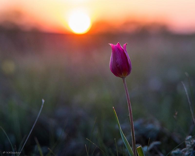 Степной тюльпан в контровом свете
