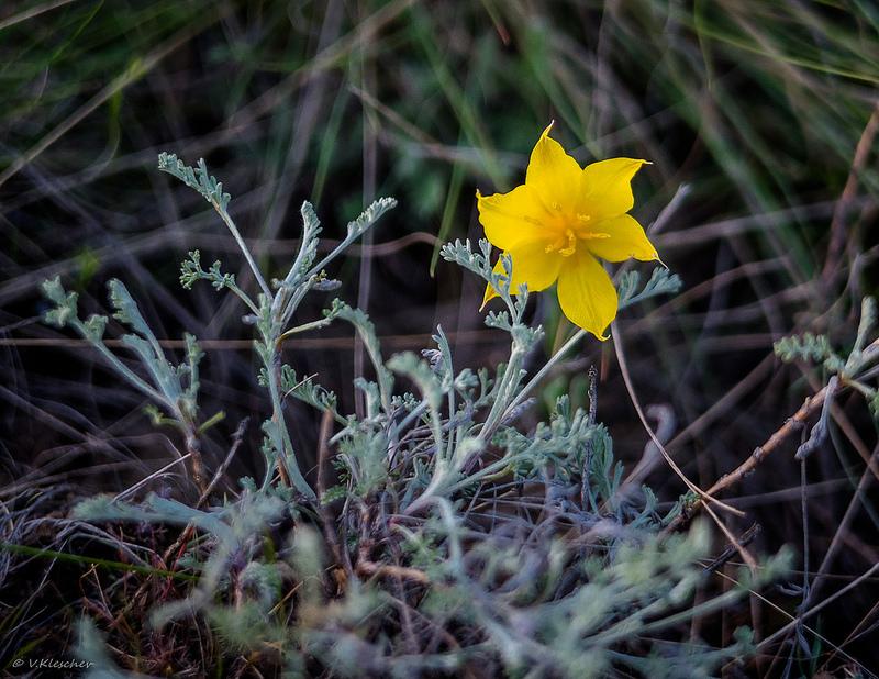 Желтый цветок дикого тюльпана