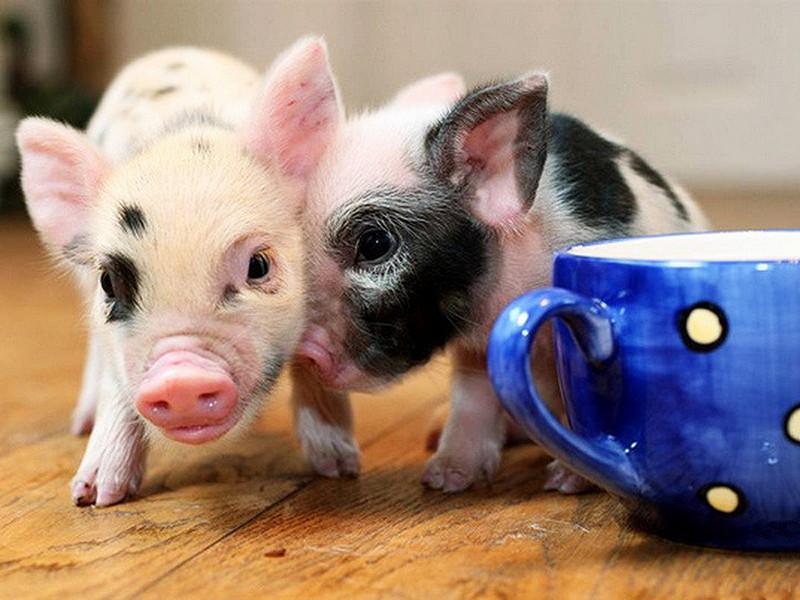 декоративные свинки