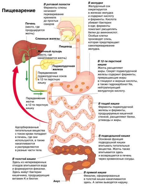 Отделы пищеварительной системы