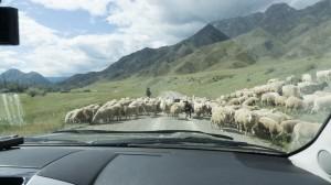 На алтайских дорогах такие встречи нередки.