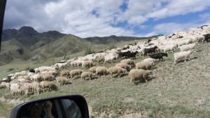 Отары на Алтае часто смешанные — и овцы, и козы.