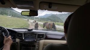 В горном Алтае на пути если не овцы и козы, то коровы или лошади.