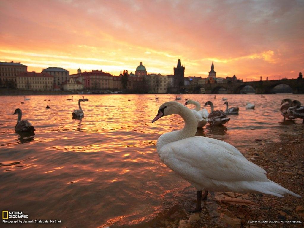 Обои Лебеди, чехия. Города foto 19