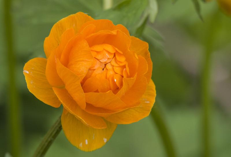 По сути лютик, по виду роза!