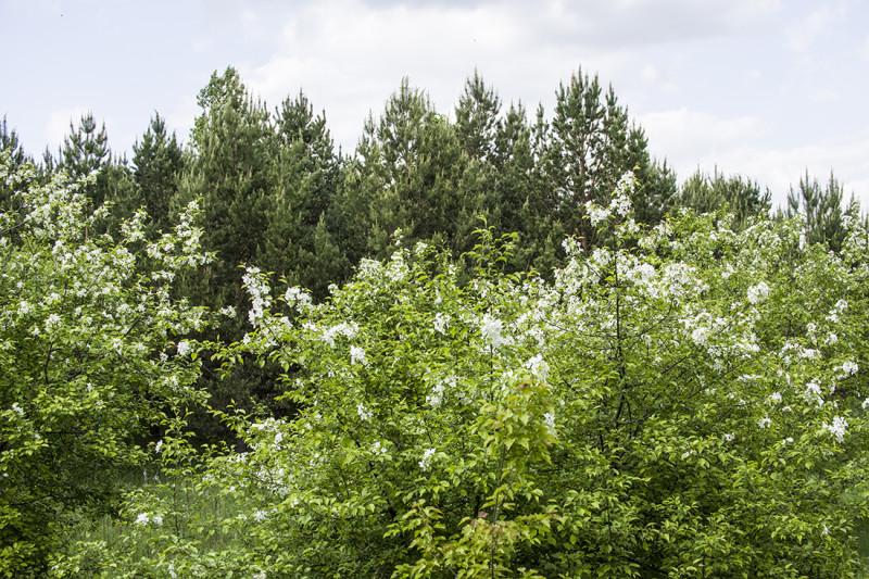 лес Кузбасского ботанического сада.