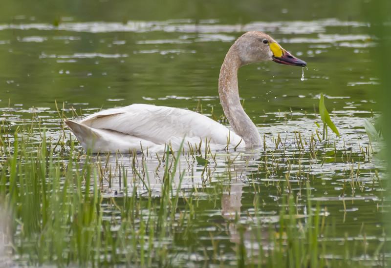 Лебедь на Суховском озере.
