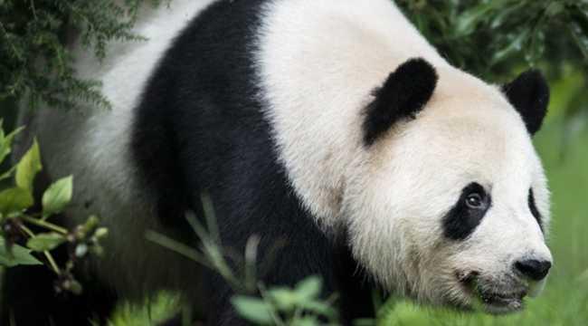 panda-prikinulas-beremennoj-radi-vkusnoj-edy-i-kondicionera_46022_3