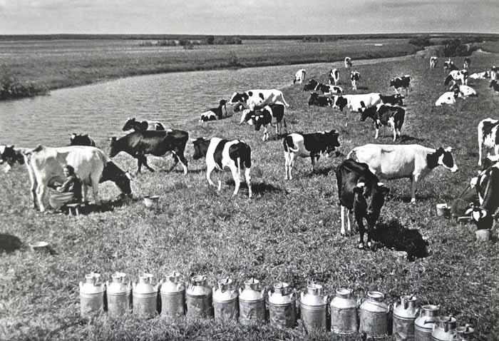 22_Холомогор коровы 700