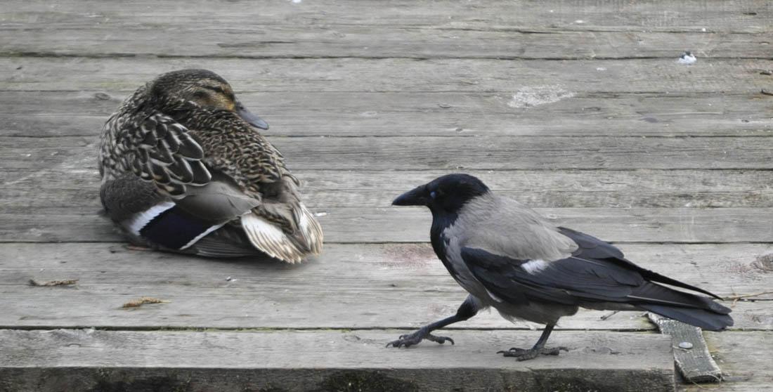 Ворона и утка 1 1100