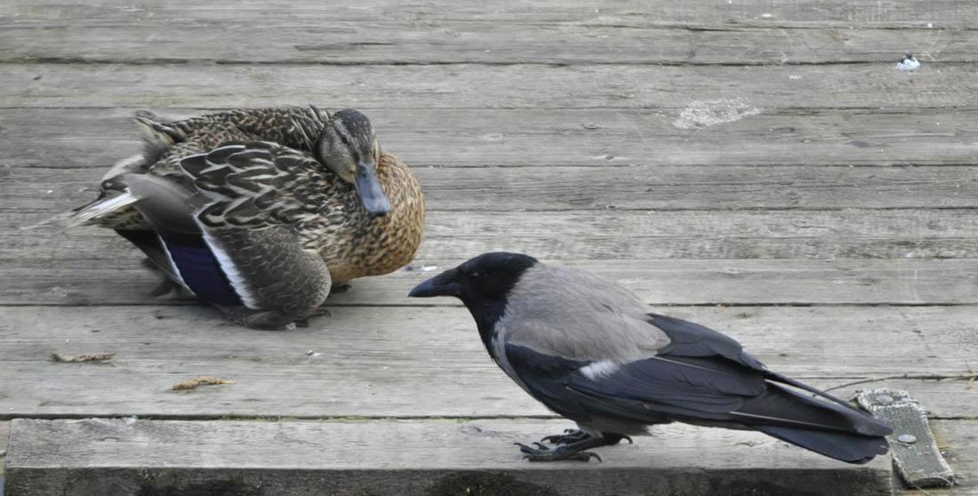 Ворона и утка 2 1100