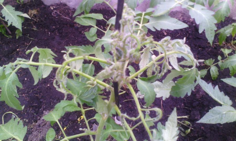 помидоры скручиваются верхушки фото год воле
