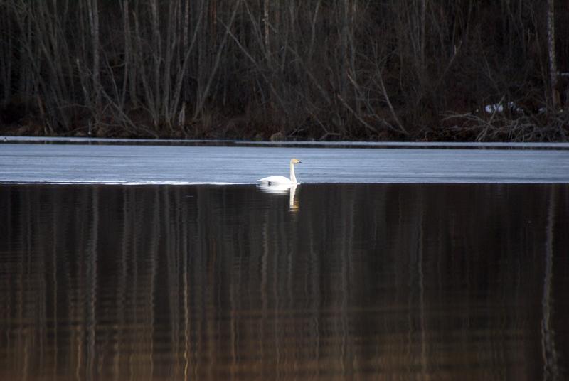 лебедь2.jpg