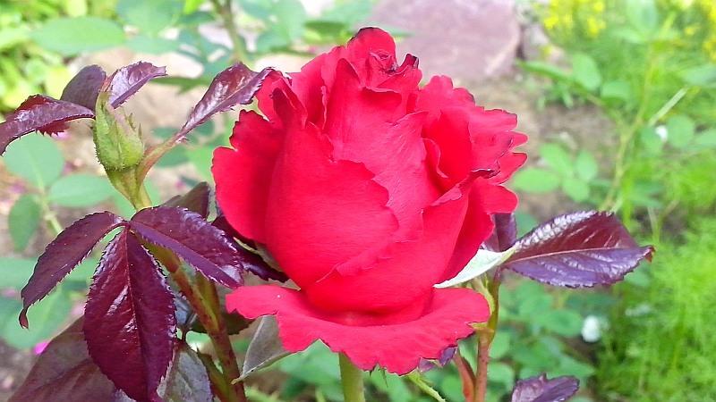 роза17