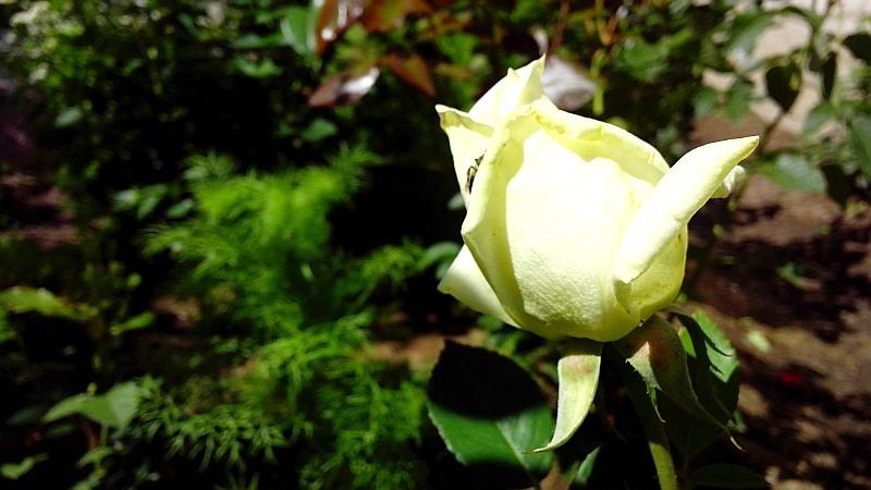 роза6