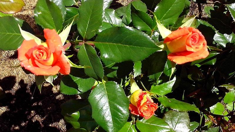 розы5_ор