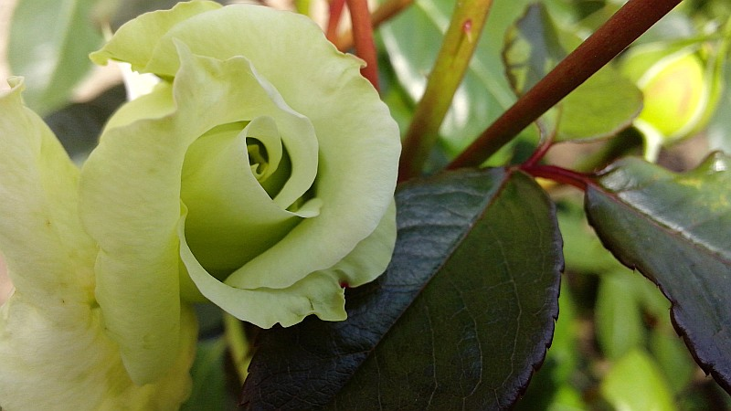 роза2_бел
