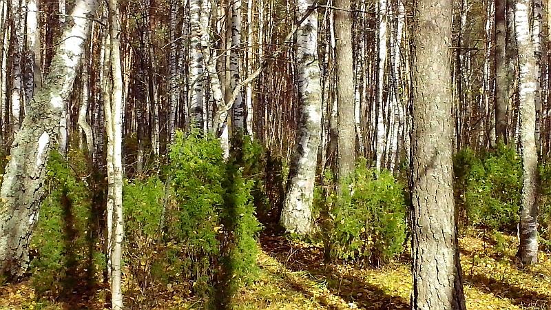 серый_лес
