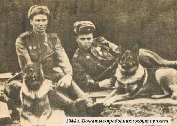 Овчарка Дина – единственная собака-диверсант