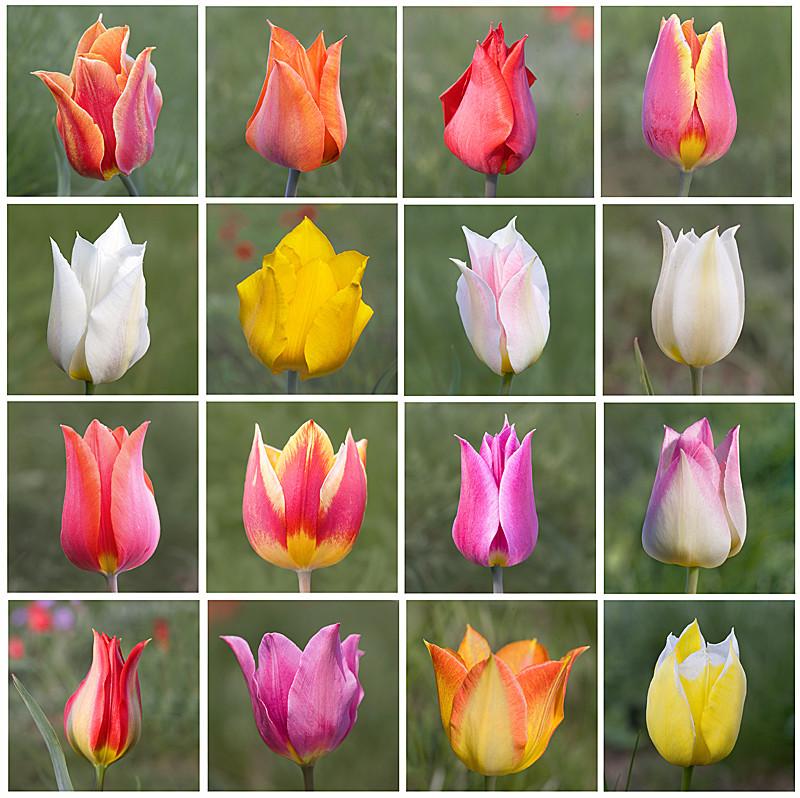 Gesner Tulip's