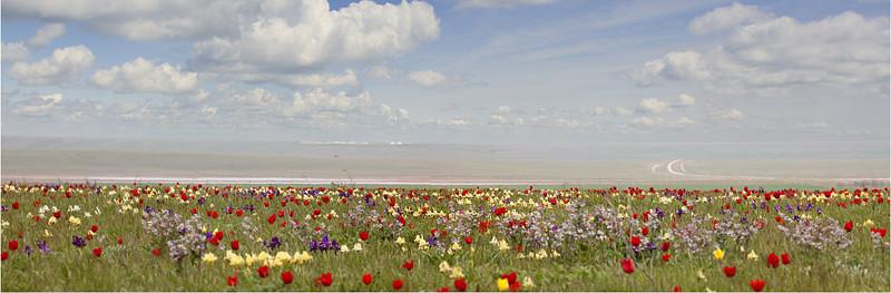 пано тюльпаны 30