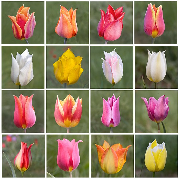 Gesner Tulip's.jpg