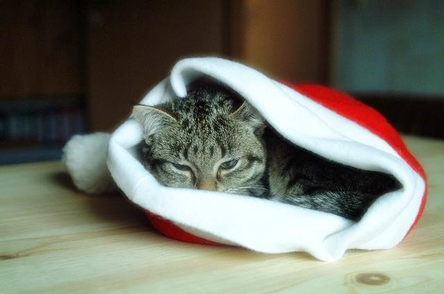 cat inside a Santa Claus hat