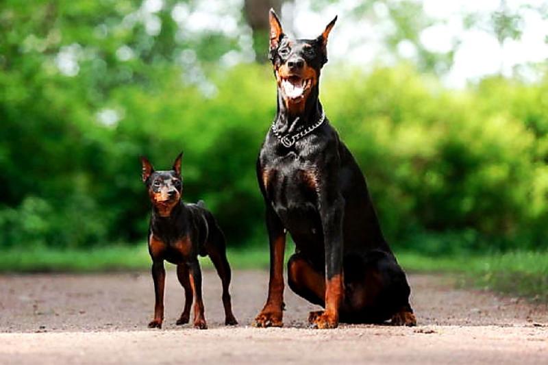 А собака, то злая