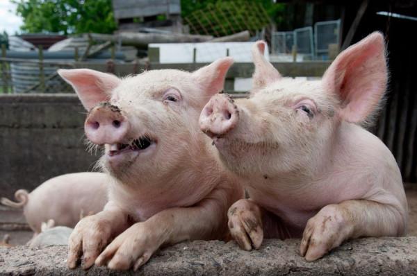 свинья1