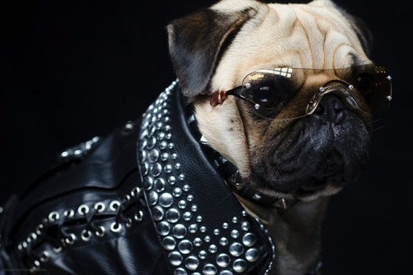 bono-the-pug-wears-a-studded-leather-jacket-and-k9-optix-sunglasses-in-sonoma-county-california-1950229