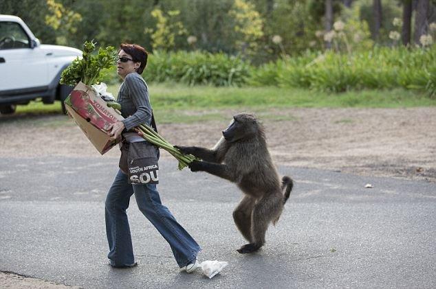 Бабуины в ЮАР отбирают у людей ценные