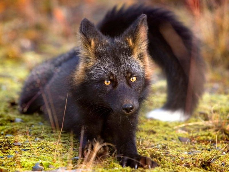 Черно-бурая лиса